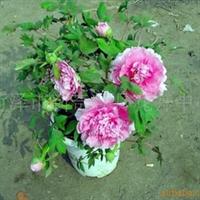 供应盆栽牡丹苗,盆景牡丹苗,牡丹切花·芍药切花