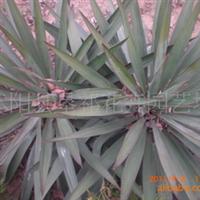 常年大量供应:黄刺梅,金丝梅,剑麻,玉簪等绿化苗木