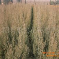 常年供应,侧柏,大小叶黄杨,铺地柏,洒金柏等绿化苗木