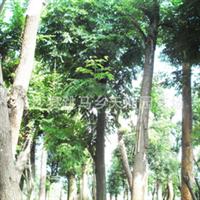 湖南绿化苗木  8--12公分 栾树大量供应