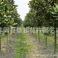 批发路边栽植乔木广玉兰,紫白黄玉兰,银杏