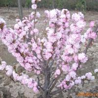 厂家大量种植供应优质海棠 红珍珠海棠