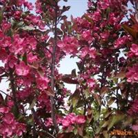 长期供应优质海棠 品种齐全