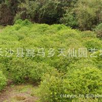 长沙供应绿化火棘苗木  价格优惠