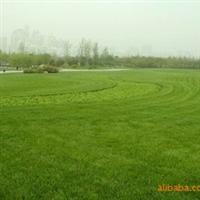 供应矮生高羊茅草坪、矮生百慕大草坪