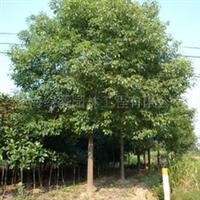 批发香樟及各种绿化工程苗木/花卉绿植出租/园林绿化