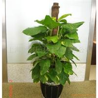 供应花卉植物租赁/绿萝/花木出租/绿植盆景租摆租赁