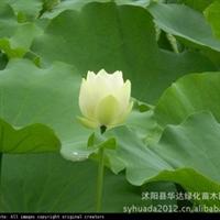 水生花卉荷花