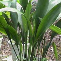 大量供应常绿植物—— 一叶兰