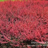 大量供应红叶小檗(别名紫叶小檗)