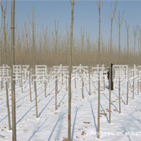 大量出售白蜡 绿化苗木 白蜡  量大从优 大小树苗