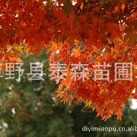 大量供应64-12分优质产品五角枫 绿化苗木 【五角枫】