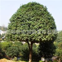 专业供应大量优质园林常绿性乔木丹桂