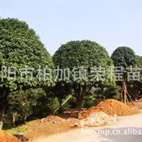 现货批发大量优质园林绿化乔木丹桂