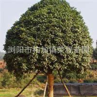 销售大量园林绿化乔木丹桂  胸径5-10公分