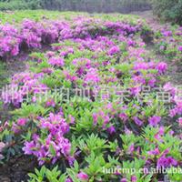 专业供应大量优质园林绿化苗木杜鹃/映山红
