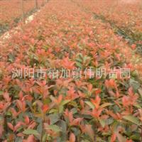 大量供应小苗   红叶石楠
