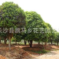 厂价直销大量优质园林绿化乔木桂花树