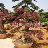 长沙跳马乡花艺园艺场厂家直销大量优质园林绿化苗木红桎木