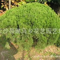 厂家直销大量优质常绿性灌木黄杨