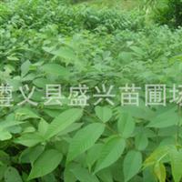 供应直生核桃苗 重庆贵州都可起货装车