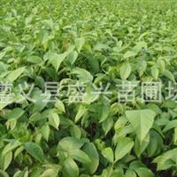 出售优质嫁接纸皮泡核桃苗100万株 当年挂果 重庆贵州都可发货