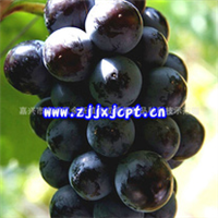 葡萄苗黑色甜菜