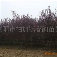 大量供应8-12cm红叶李/紫叶李等优质造林绿化工程用苗