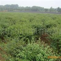 苗圃大量供应精美常绿小叶女贞球