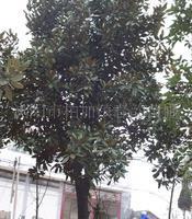 大量供应12-15cm广玉兰等绿化行道树