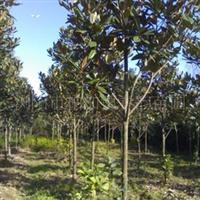 大量供应10-12cm广玉兰等绿化行道树
