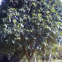 大量供应8-10八月桂,四季桂等苗木