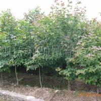 大量供应7-10cm枫香、三角枫