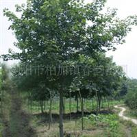 大量供应10-12cm枫香,三角枫