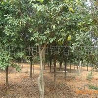 大量供应3-6cm八月桂/金桂/银桂等苗木