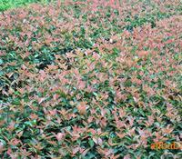 大量供应红叶石楠小苗