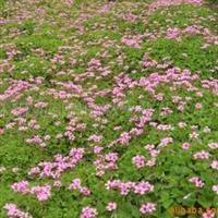 供应大量红花草,马泥拉,紫蕙槐,中华结缕草等种子