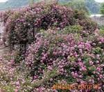 供应紫荆、紫薇、连翘、迎春、木槿、?;?、垂梅