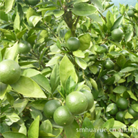 本厂供应大量的绿色食品永橙牌柑橘