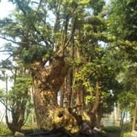 出售红豆杉绿化苗木