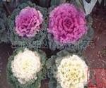 常年大量供应羽衣甘蓝、金山绣线菊、红帽月季等