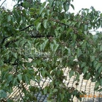 大量供应拐枣树、白蜡树、杜英树、重阳木树等绿化苗木