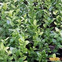大量供应卫矛、大叶黄杨、小叶黄杨、红叶小壁等花卉苗