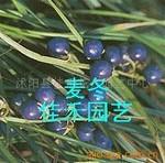 供应麦冬成苗及种籽-麦冬种子-麦冬种子
