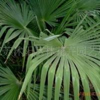 大量供应耐寒棕榈树、香樟、榔榆、白榆、辛夷等