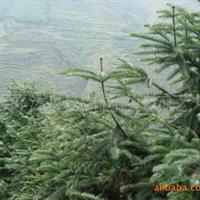 大量供应柳杉、云杉、水杉、池杉等绿化苗木