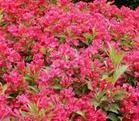 常年大量供应红王子锦带、红瑞木、连翘等绿化花卉苗木