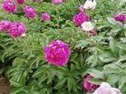 大量低价出售芍药、牡丹、君子兰、品种月季等花卉苗木