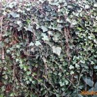供应绿化花卉苗木-爬山虎,常青藤