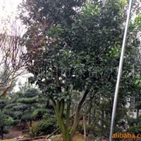供应绿化花卉苗木-香泡树,柚子树